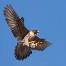 MGTOW_Falcon